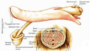 Строение полового органа
